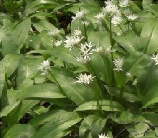 britische wildblume allium ursinum b rlauch 10g samen ebay. Black Bedroom Furniture Sets. Home Design Ideas