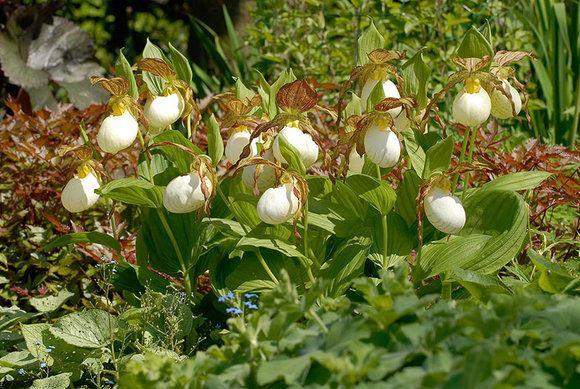 Hardy Garden Slipper Orchid Plants Cyripedium Unusual and – Rare Garden Plants