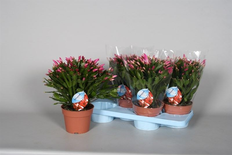 Large christmas cactus plant in a 17cm pot schlumbergera Cactus pots for sale