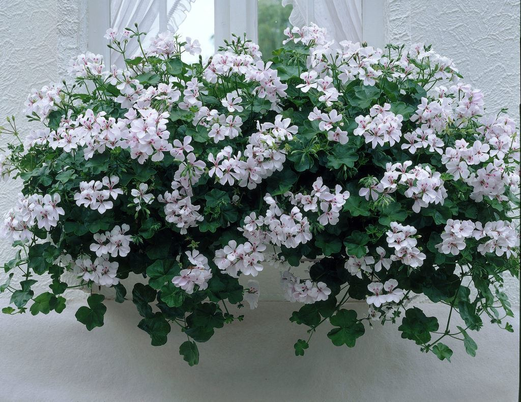Ivy leaved trailing geranium plant in a 10cm pot for Gerani rampicanti