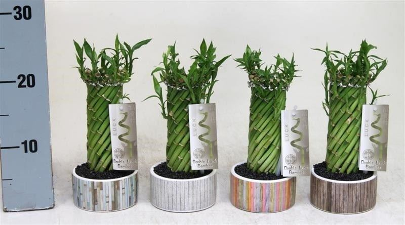 Contemporary Lucky Bamboo Twist  Arrangment in a 10cm Ceramic Dish