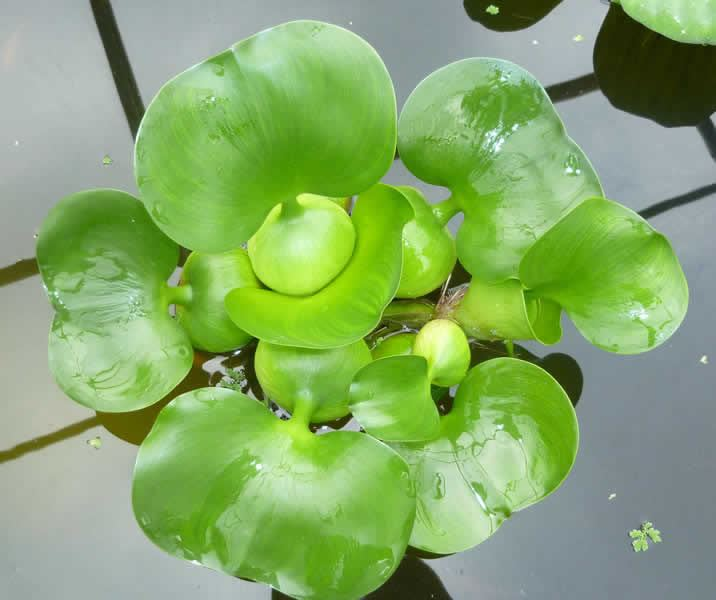 Water hyacinth eichorrnia crassipes floating aquarium pond for Floating pond plants