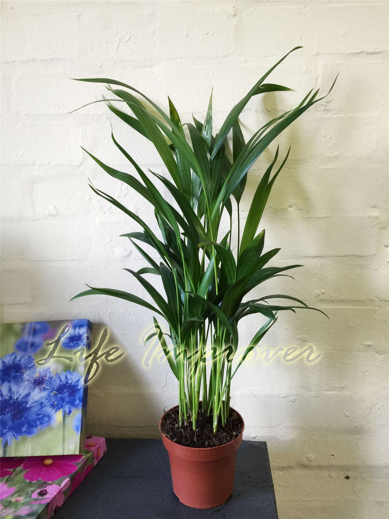1 areca palm plant in pot canna palm giardino interno for Pictures of areca palm plants