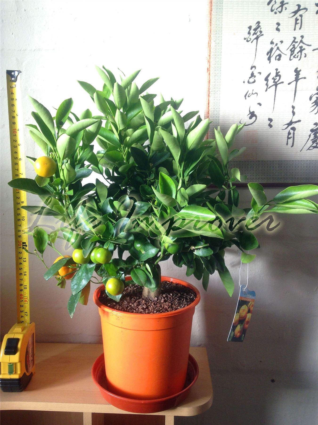 1 nain permanent calamondin agrumes orange fruit arbre plante en pot int rieure ebay - Agrumes en pot ...