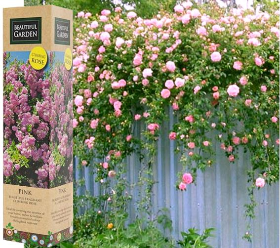1 fragrant climbing bush rose bare rooted plant shrub red purple white orange ebay - Planting rose shrub step ...