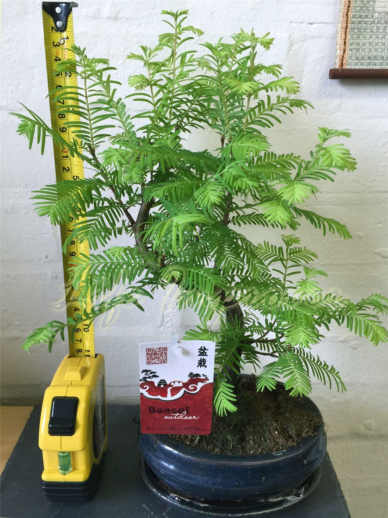 for t groupe bonsai dawn redwood ext rieure plante pot. Black Bedroom Furniture Sets. Home Design Ideas