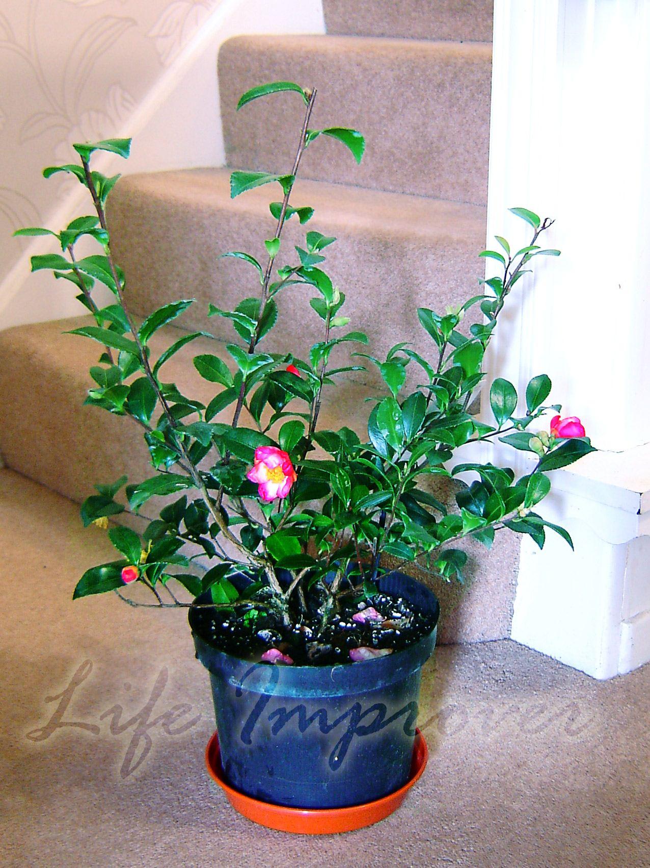 60cm Hardy Camellia Pot Christmas Indoor Garden
