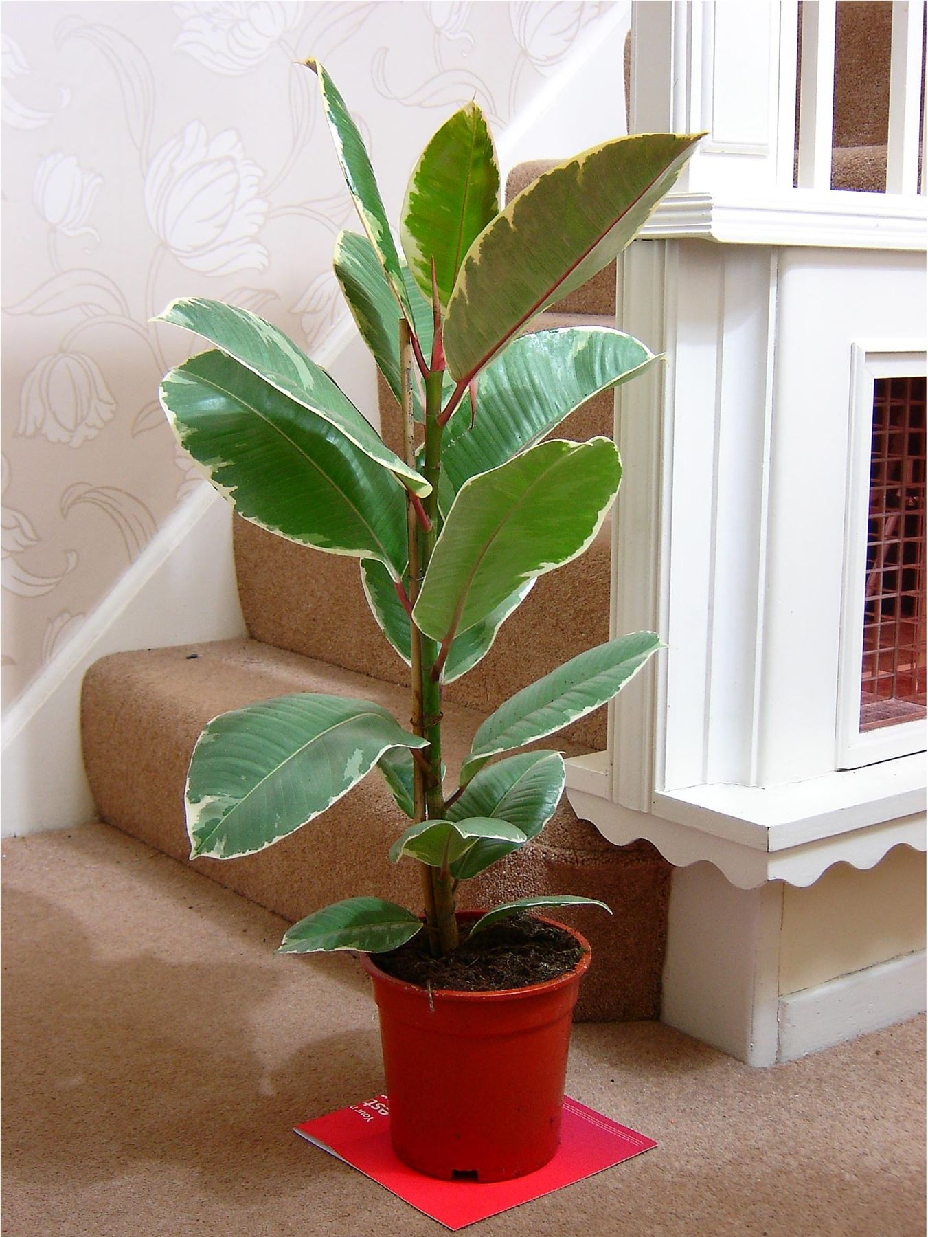 TRADITIONAL-EVERGREEN-INDOOR-HOUSE-TREE-PLANT-POT-rubber-ficus-golden-king-fig
