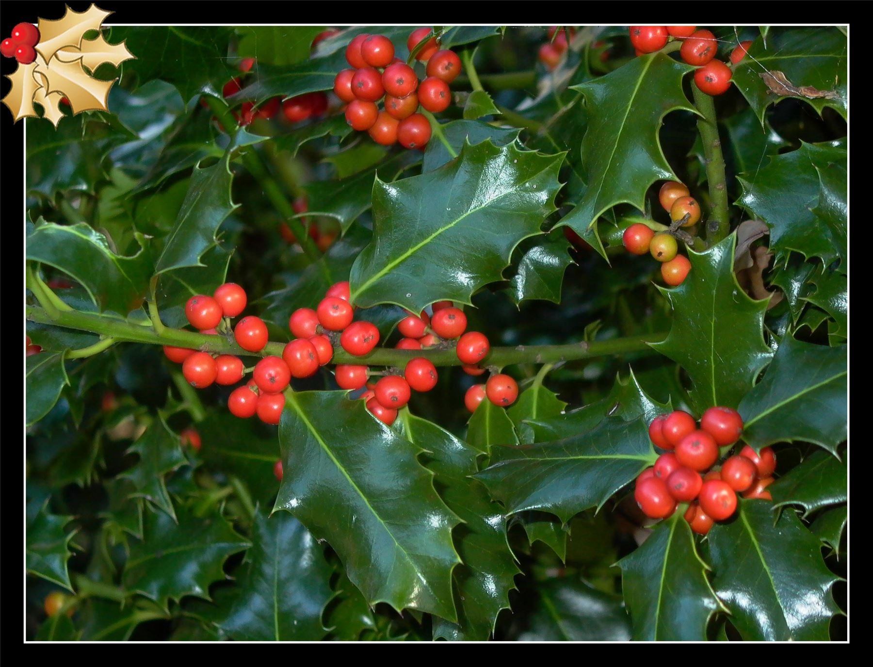 1 Christmas Holly Red Berry Outdoor Hardy Shrub Garden