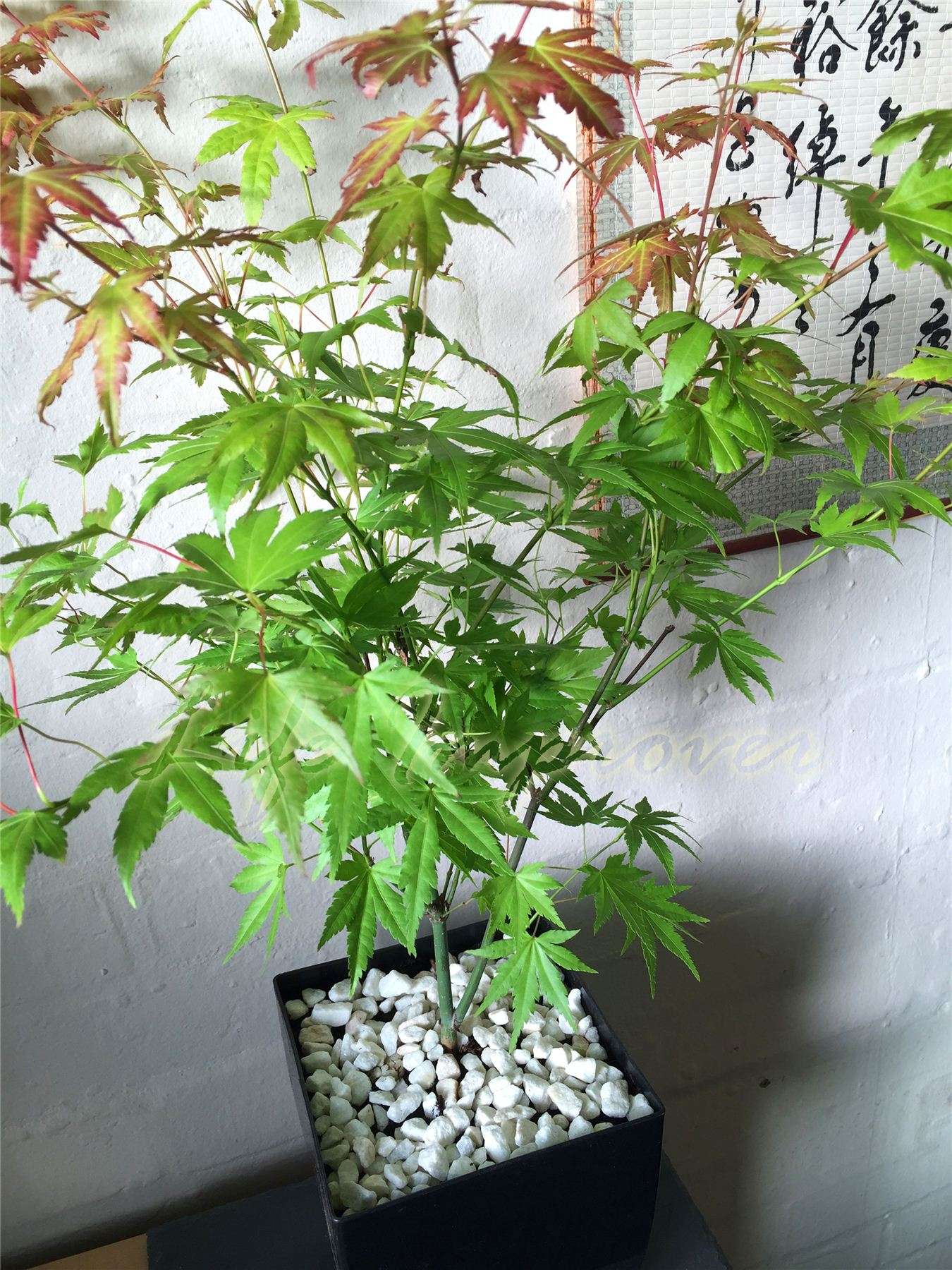 japanese maple acer palmatum house tree indoor outdoor