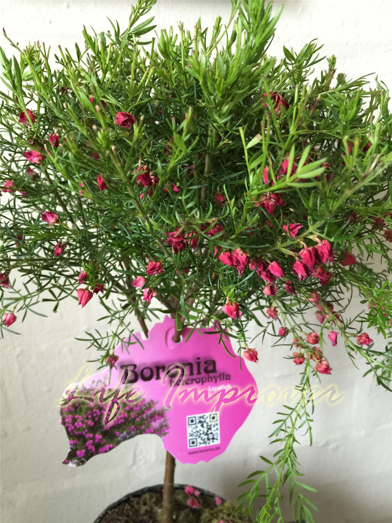 1 hardy red boronia heterophylla lipstick outdoor garden for Plants for outdoor garden