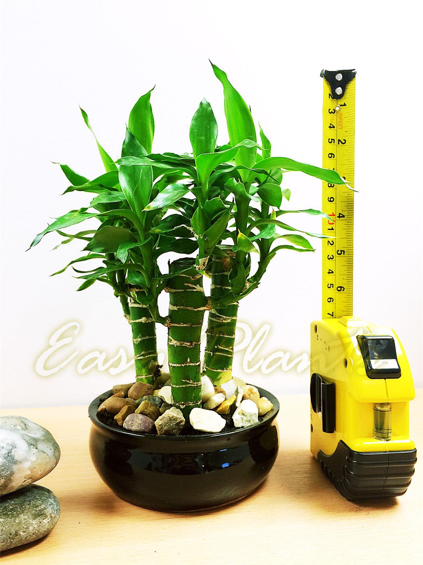 jardín > Plantas semillas y bulbos > Plantas y esquejes > Bambú #42BD0F 1350 1800