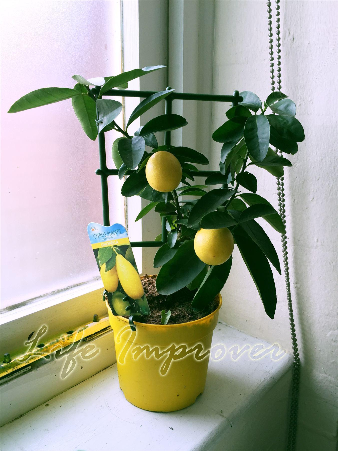 1 Dwarf Scent Lemon Citrus Fruit Indoor Tree In Pot