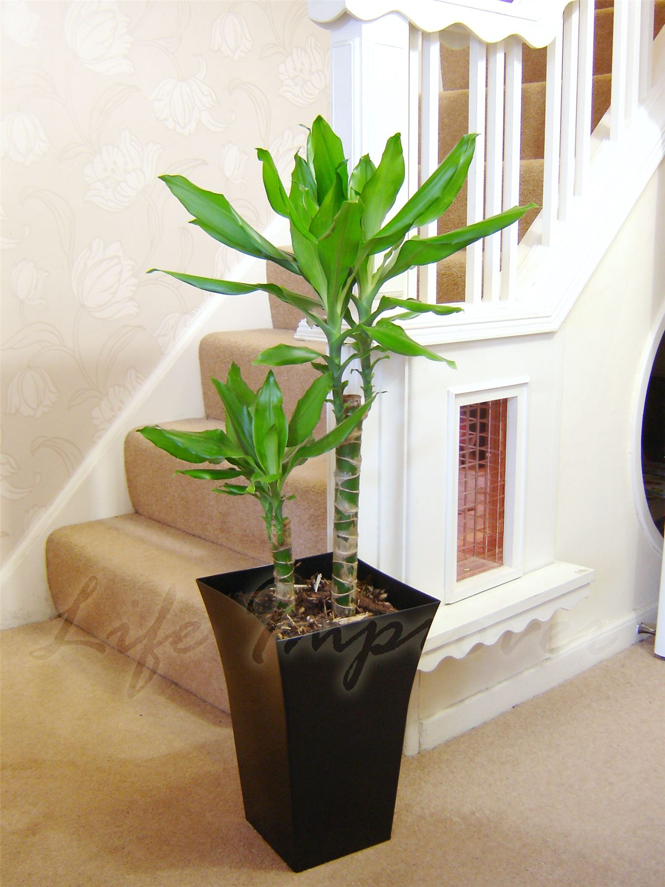 large indoor office house tree milano gloss pot palm dracaena snake