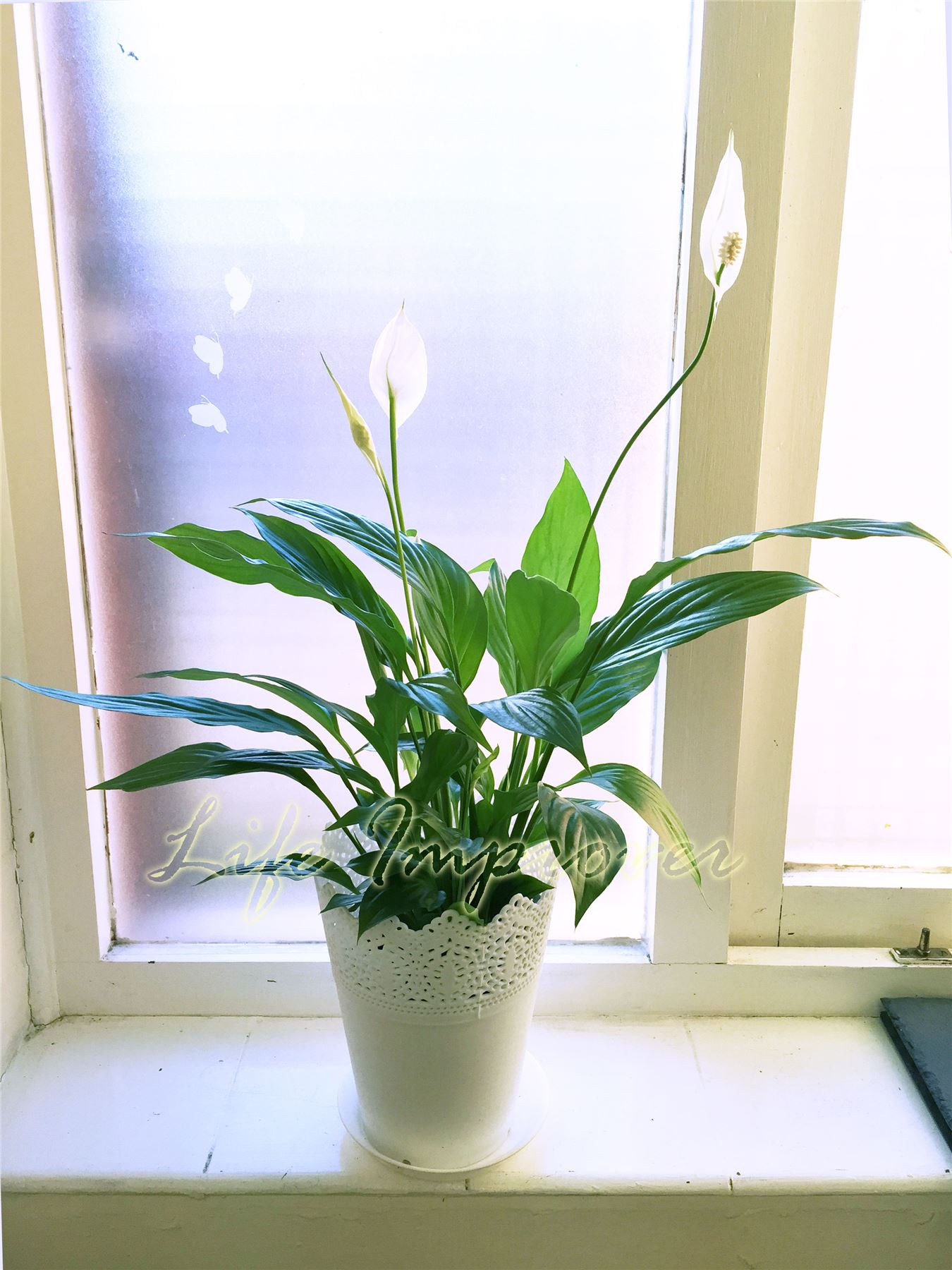 Indoor Evergreen Garden House Plant @ 14cm White Floral Pot for Patio Office