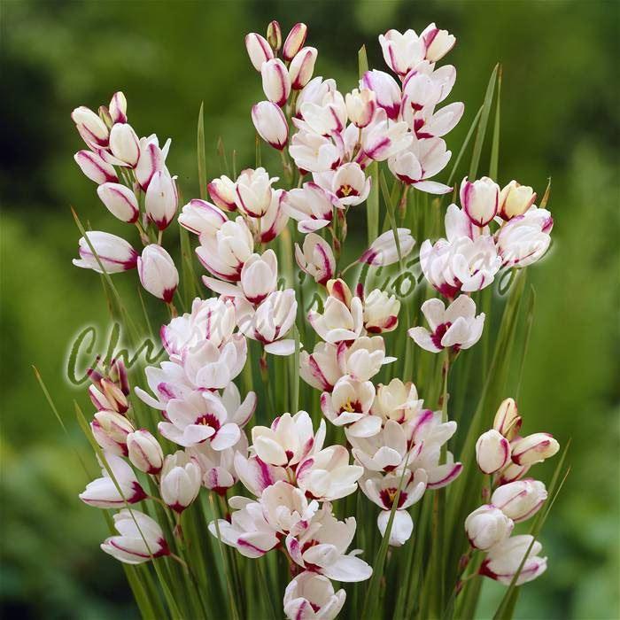 12 24 bulbes ixia cornlily jardin m lange de couleur fleurs vivaces de l 39 t ebay. Black Bedroom Furniture Sets. Home Design Ideas