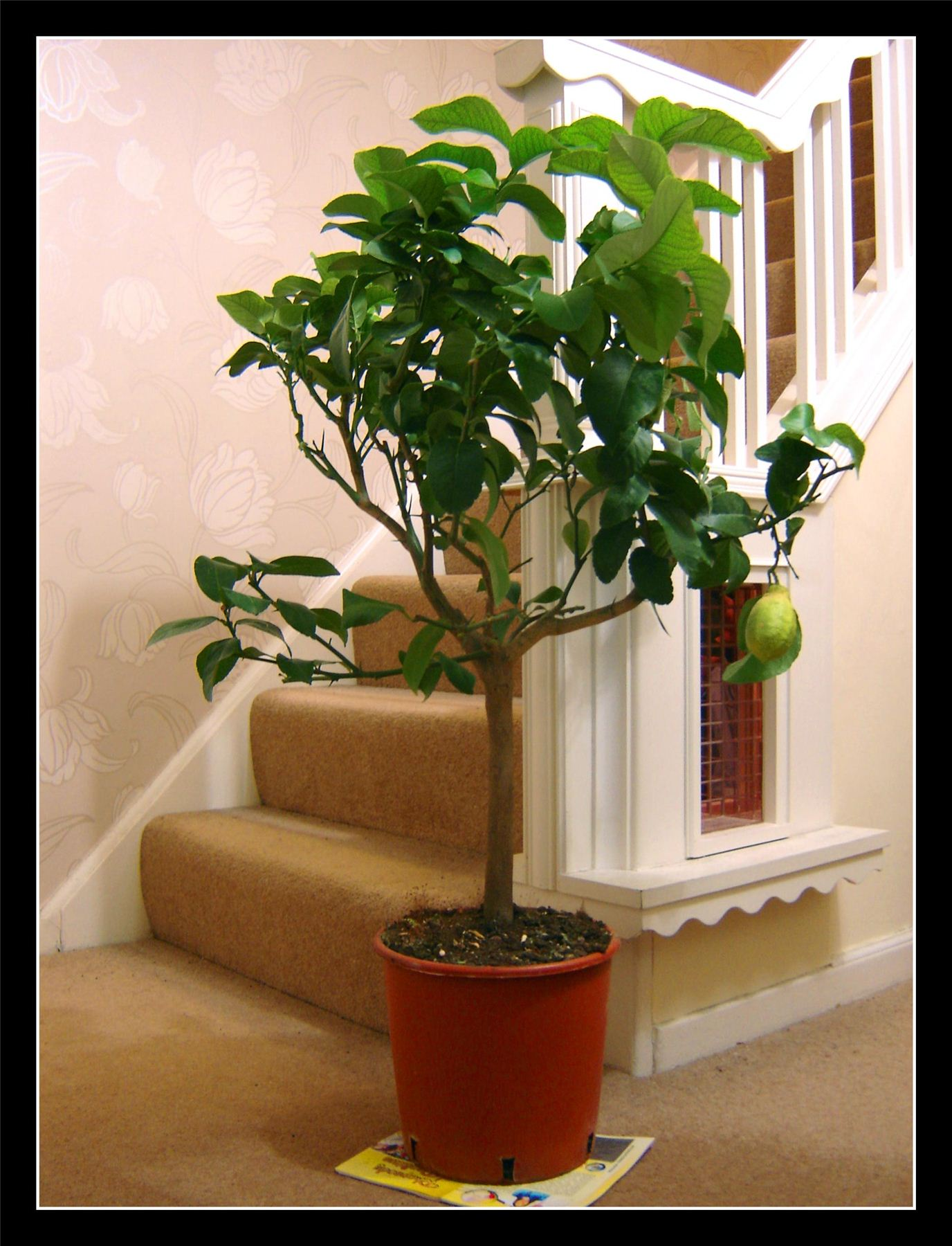 1 large mature standing scent lemon citrus garden fruit for Easy large house plants