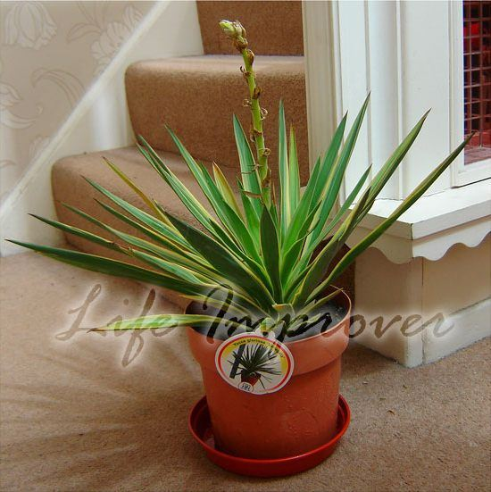 yucca gloriosa variegata plant in pot hardy evergreen
