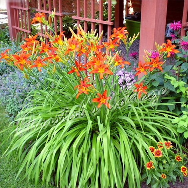 H m rocalle sammy russell daylily rouge jardinage t for Plante orange