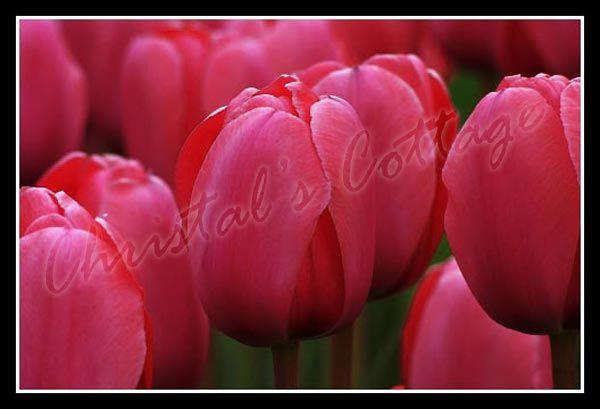 8 PLAIN COLOUR TULIPS AUTUMN GARDENING SPRING FLOWER BULB CORM RED PINK WHITE