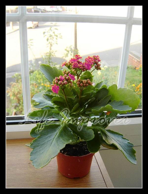 1 calandiva kalanchoe blossfeldiana indoor plant in pot for Indoor gardening diana yakeley