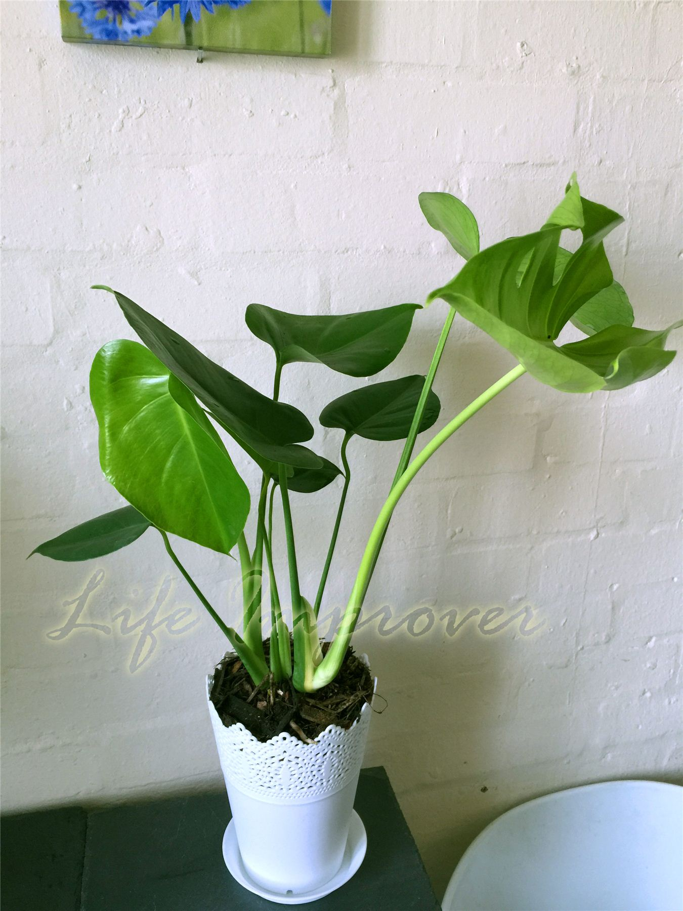Evergreen House Plant in 14cm Matt White Floral Pot Office Garden Conservatory