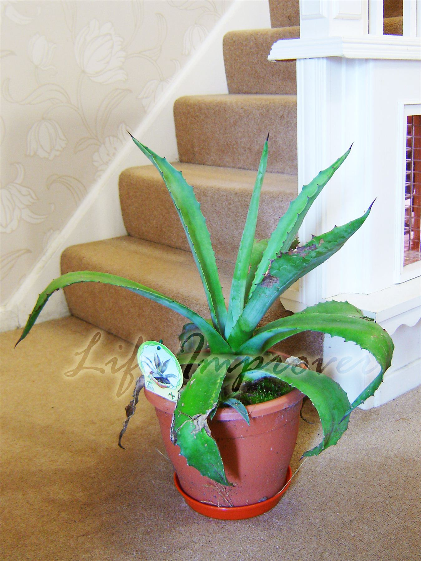 evergreen nature aloe vera en pot natural medicinal. Black Bedroom Furniture Sets. Home Design Ideas