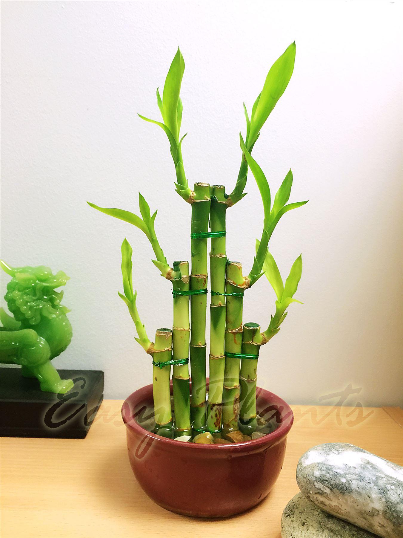 Mini Bamboo Plant : Lucky bamboo ribbon plant evergreen indoor bonsai in