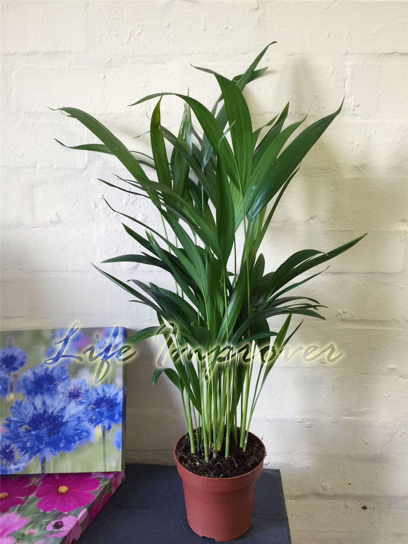1 la palmera de areca planta en maceta de ca a palma - Planta interior palmera ...