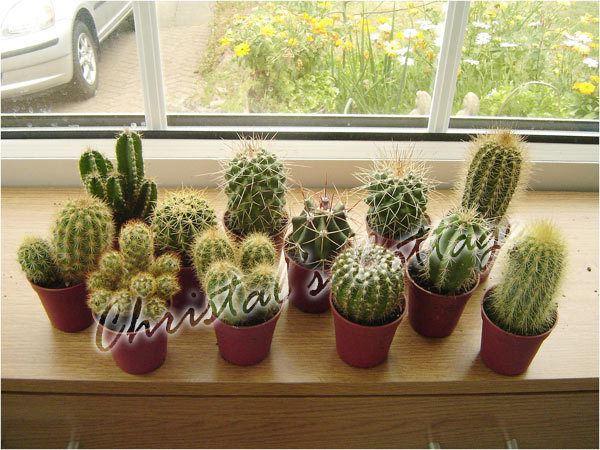 1 mini cactus plante d 39 int rieur toujours vert d coratif plante en pot ebay. Black Bedroom Furniture Sets. Home Design Ideas