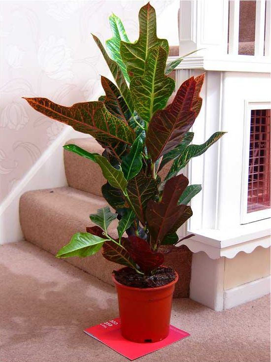 Lifeimprover-TRADITIONAL-EVERGREEN-INDOOR-PLANT-GARDEN-TREE-POT-HOUSE-OFFICE