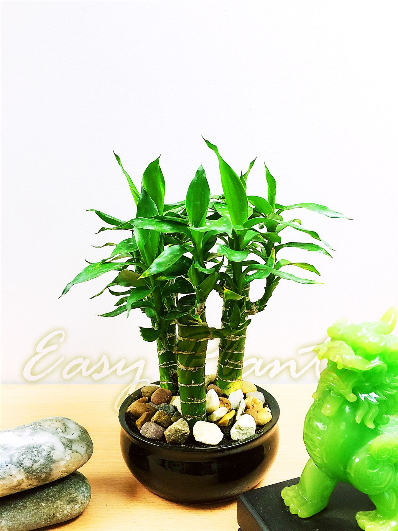 1 grand lotus bambou plante d 39 int rieur tubus pot for Plante feng shui