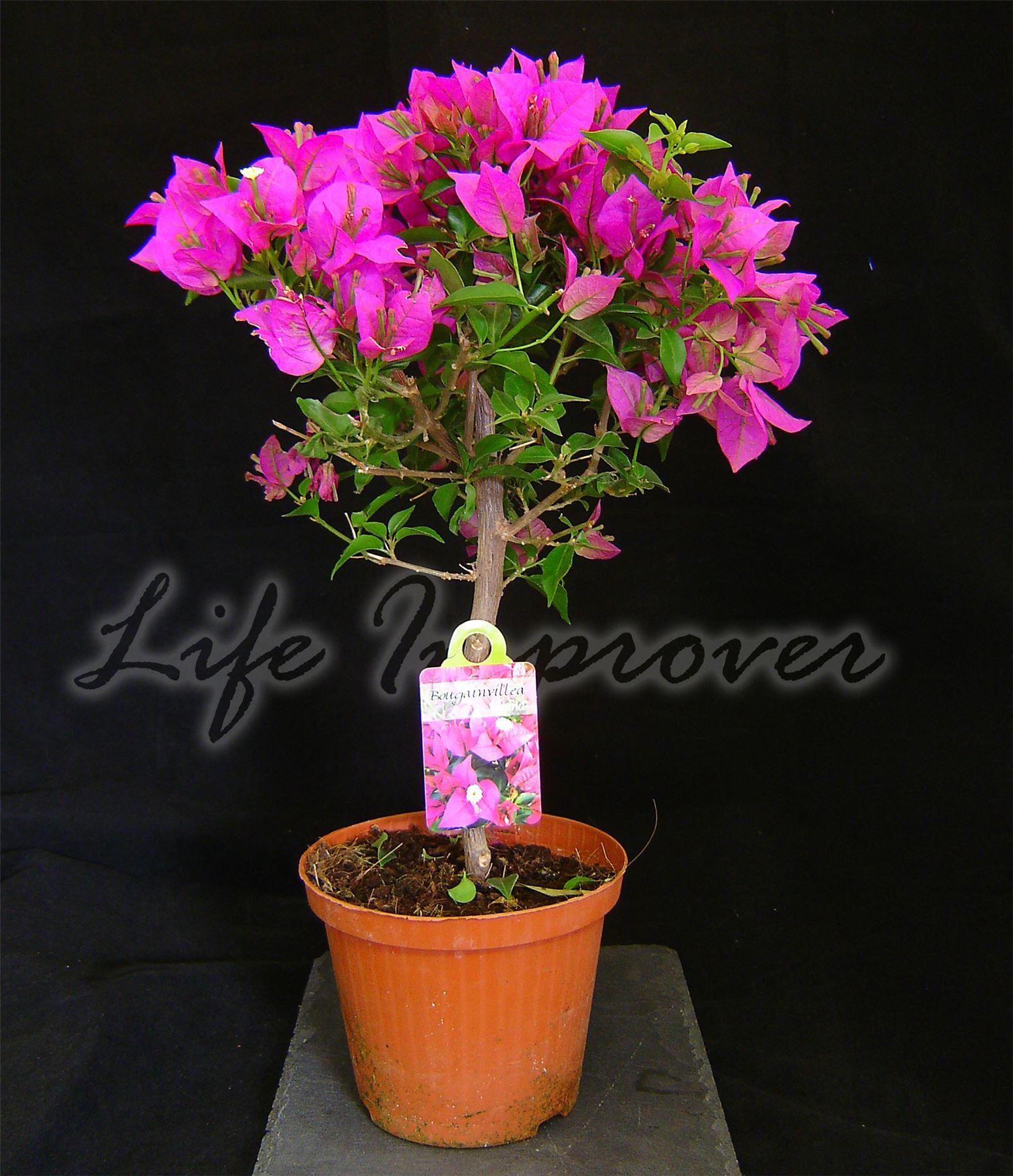 Bougainvillea purple flower hoop tree in pot climbing garden plant 60cm ebay - Best compost for flower pots solutions within reach ...
