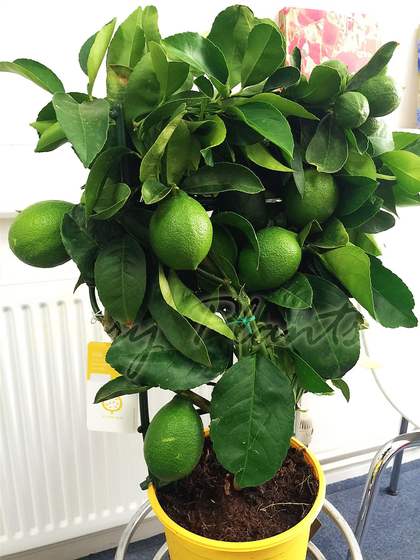1 trellis scent lemon citrus fruit indoor tree in pot for Lemon plant images