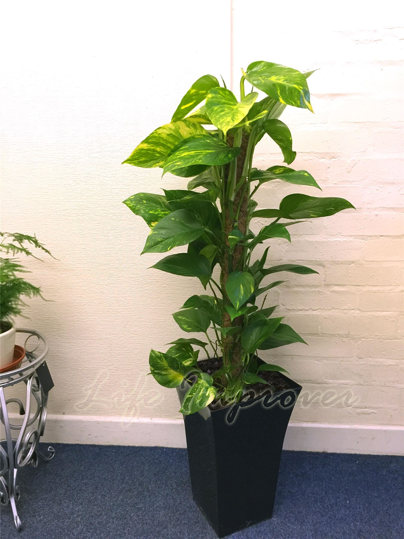 1 large indoor tree milano gloss pot office house Large house plants