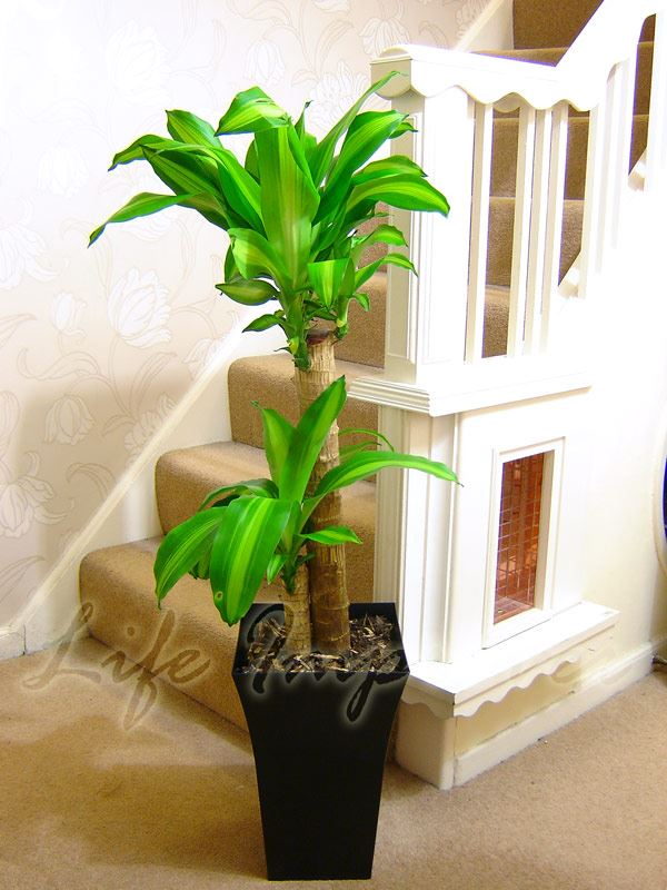 details about 1 large indoor office house tree milano gloss pot palm