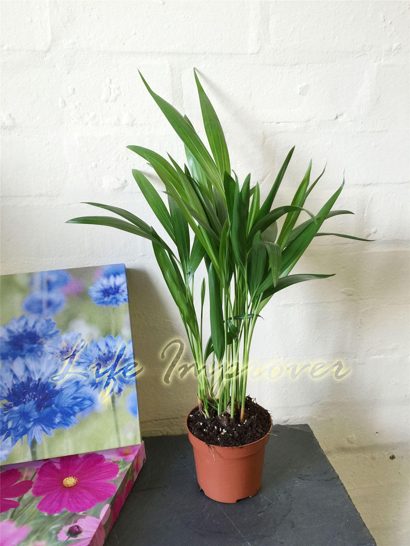 1 la palmera de areca planta en maceta de ca a palma for Oficinas correos palma