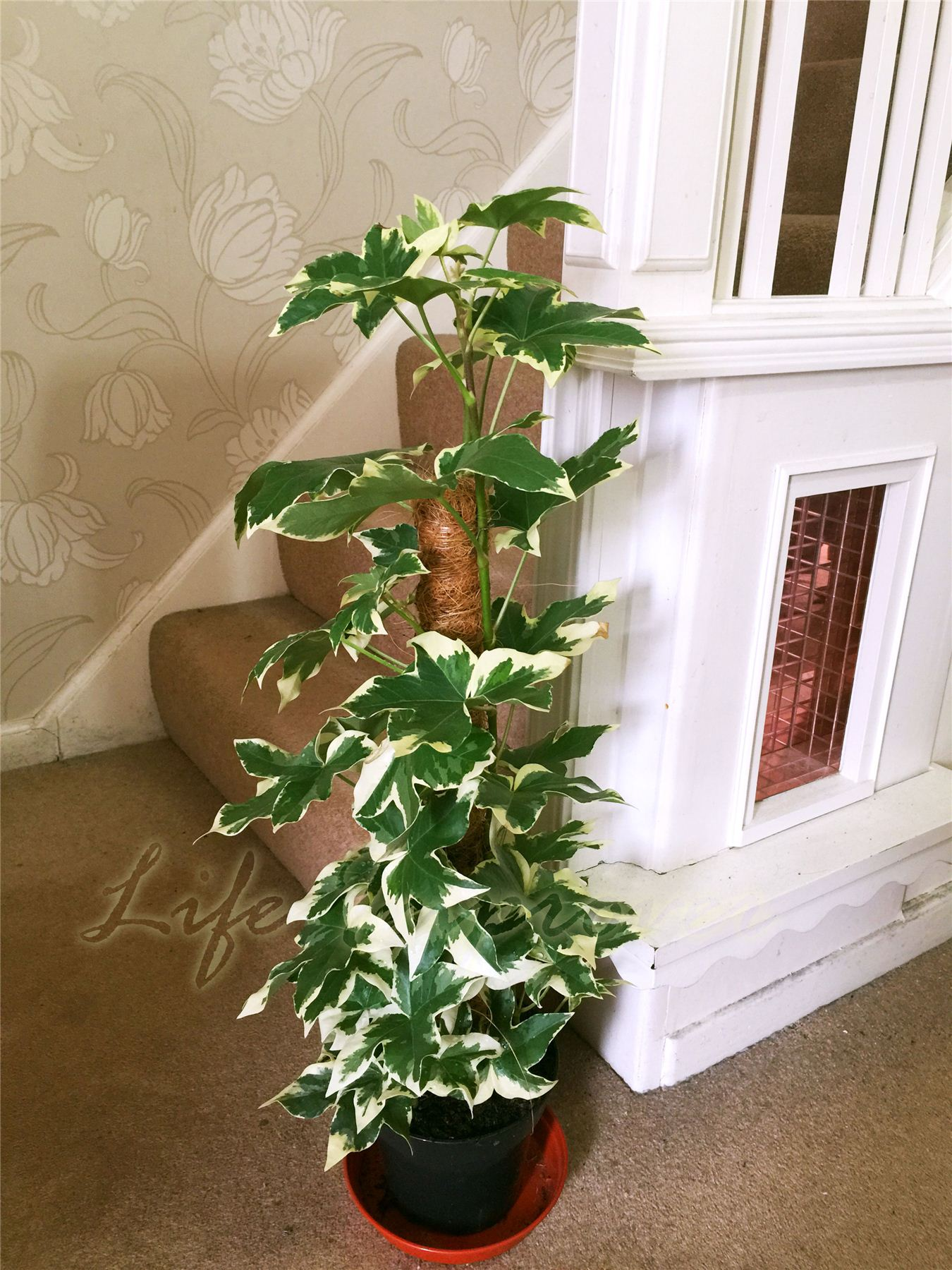 Variegated Tree Ivy X Fatshedera Lizei Variegata: Home Collection On EBay