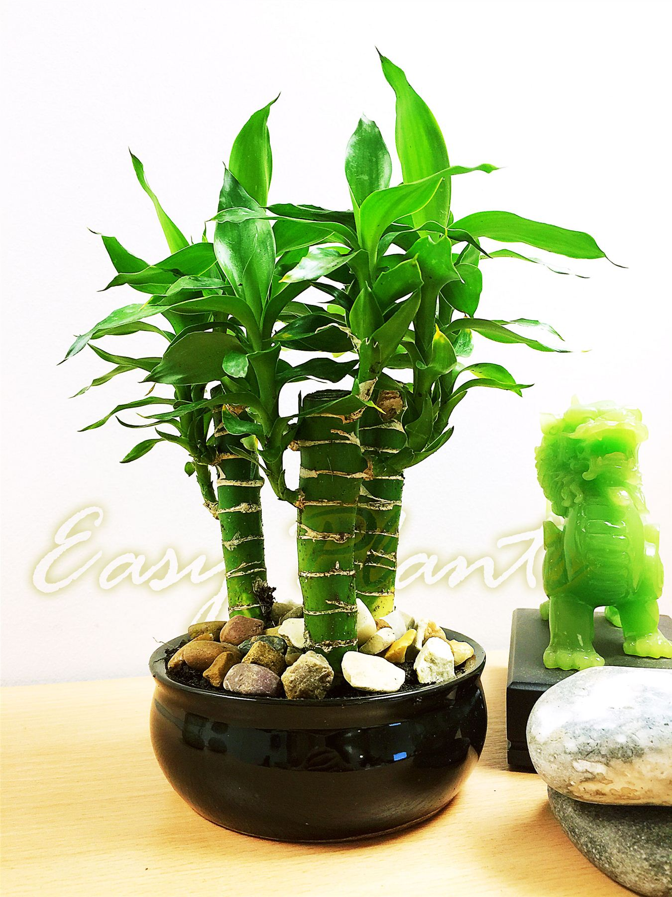 1 grand lotus bambou plante d 39 int rieur tubus pot for Plante interieur bambou
