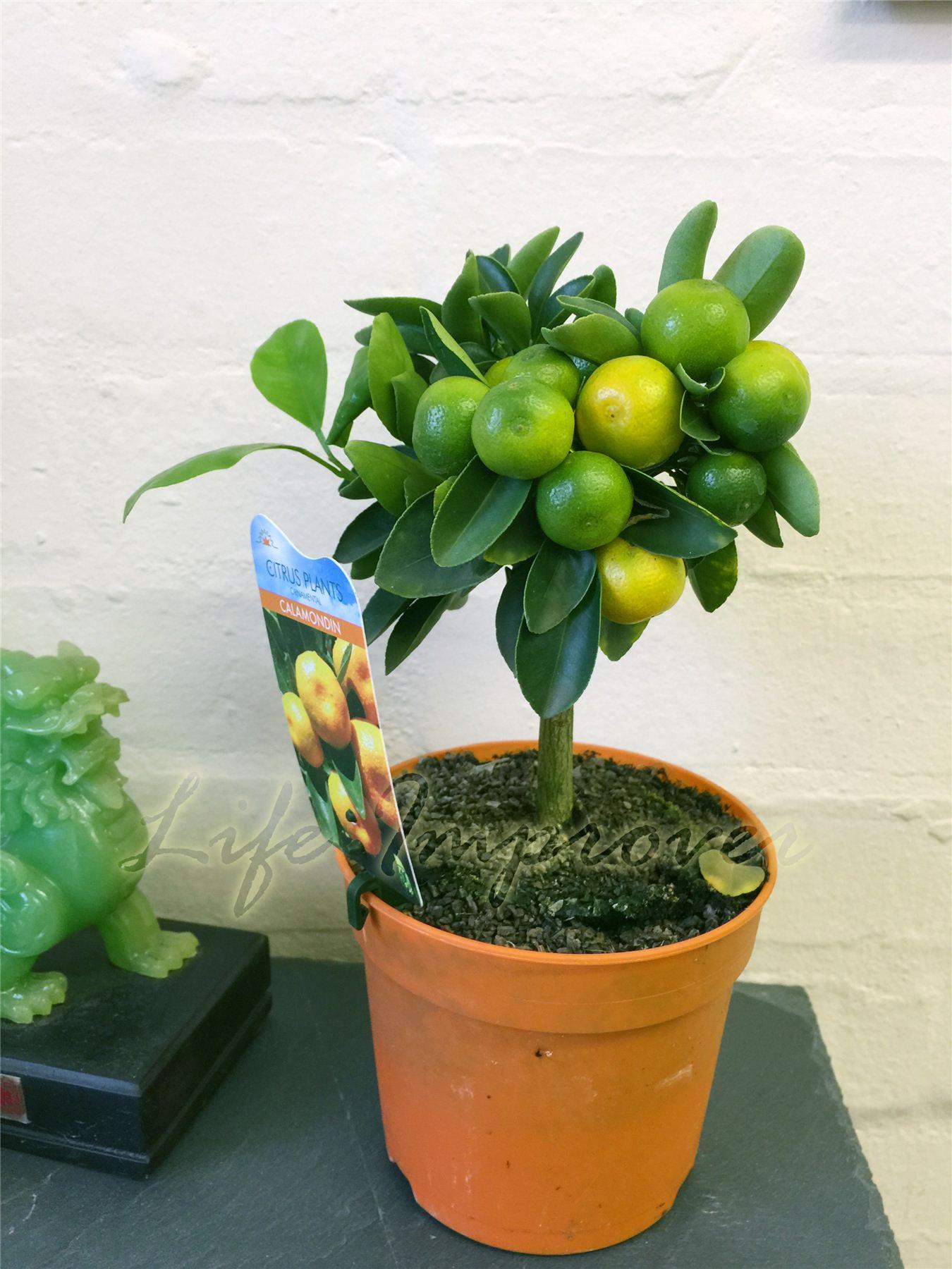 1 nain permanent calamondin agrumes orange fruit arbre plante en pot int rieure ebay. Black Bedroom Furniture Sets. Home Design Ideas