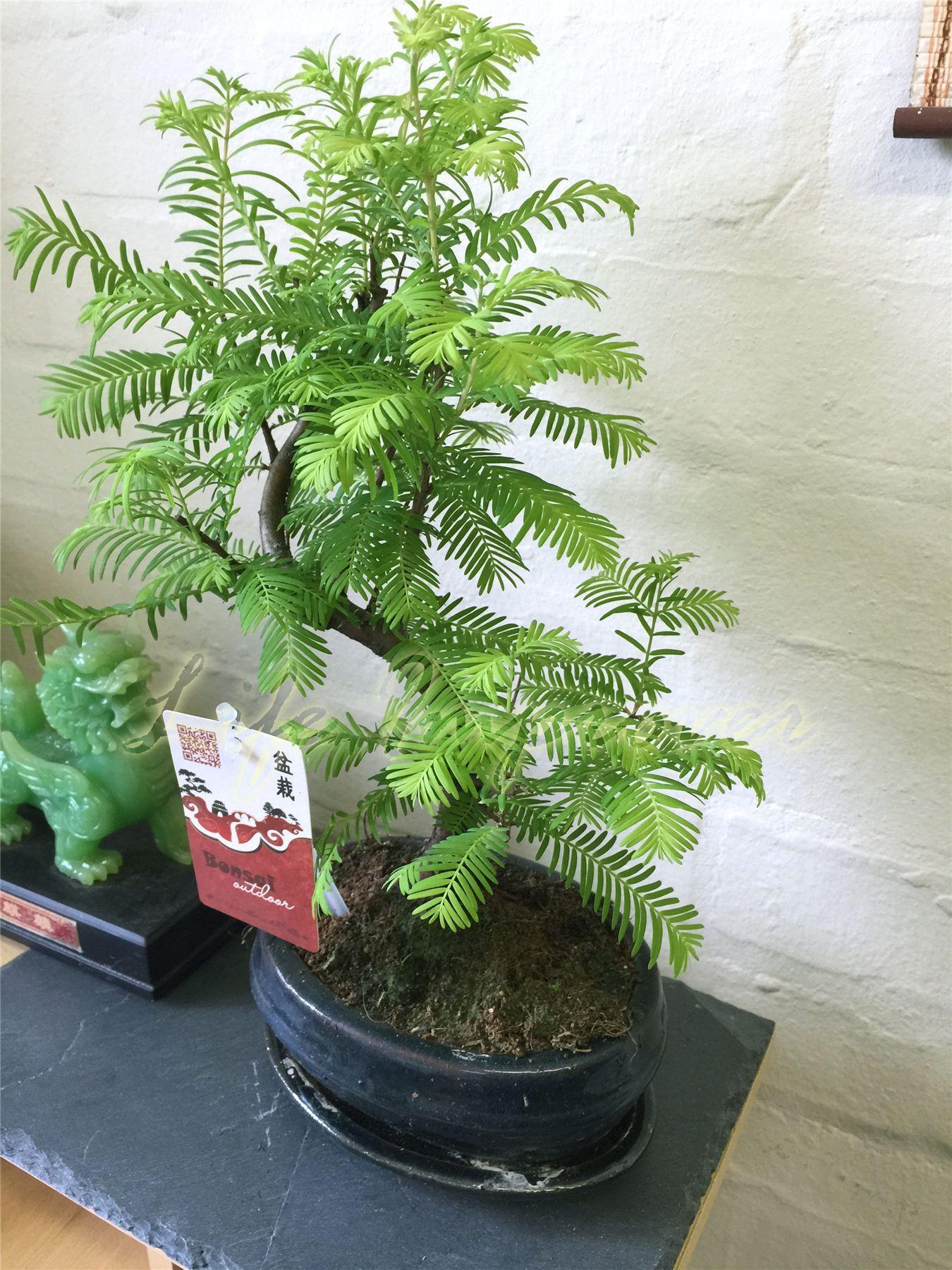 Dawn Redwood Outdoor Bonsai Plant Ceramic Pot Amp Saucer S