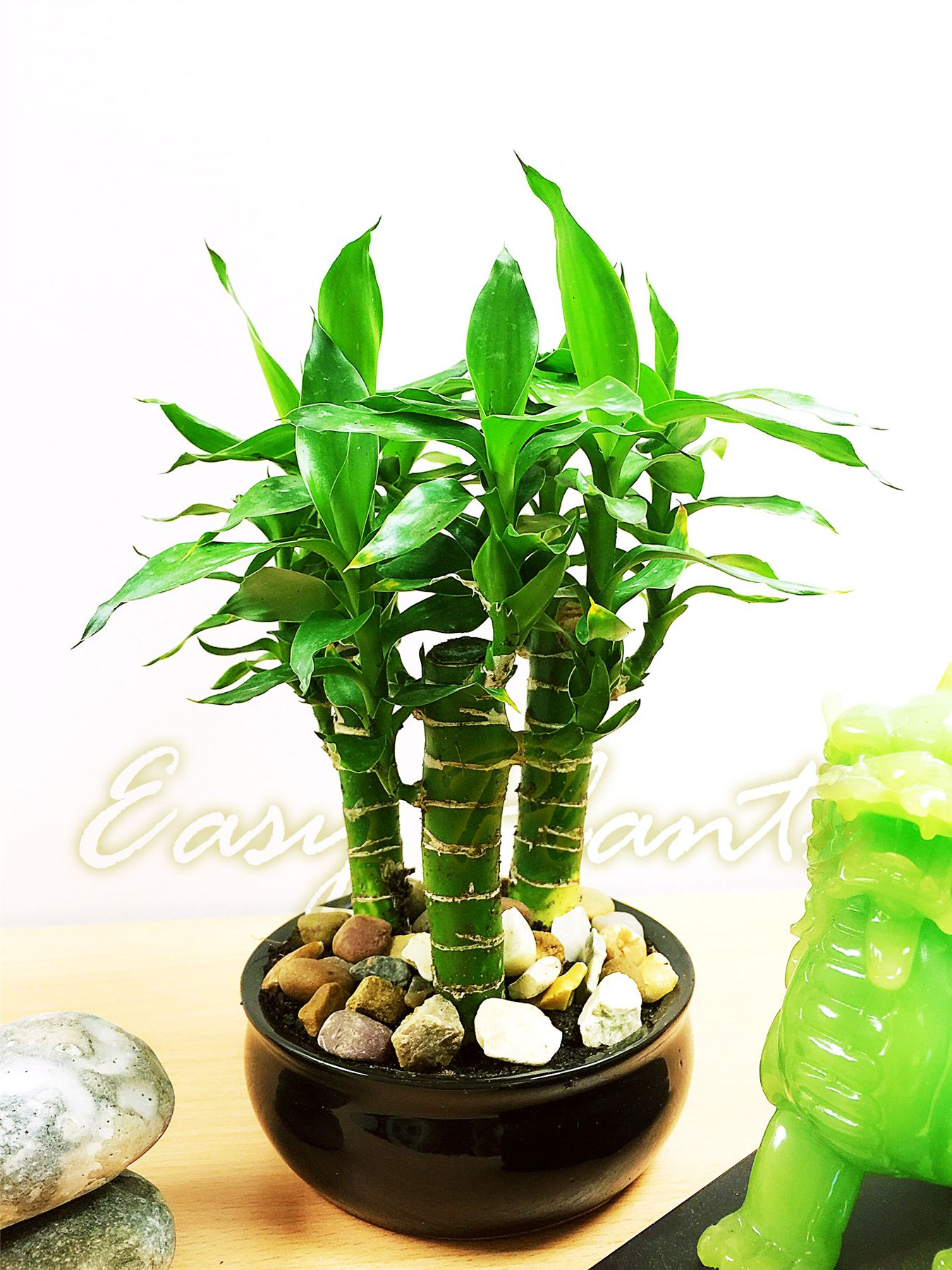 Lotus bambou plante d 39 int rieur tubus pot evergreen maison for Plante interieur bambou