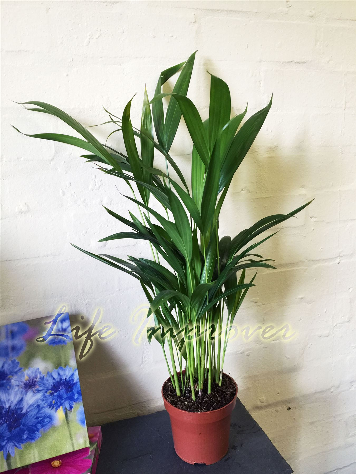 1 x areca palm plant in pot indoor garden office evergreen for Pictures of areca palm plants