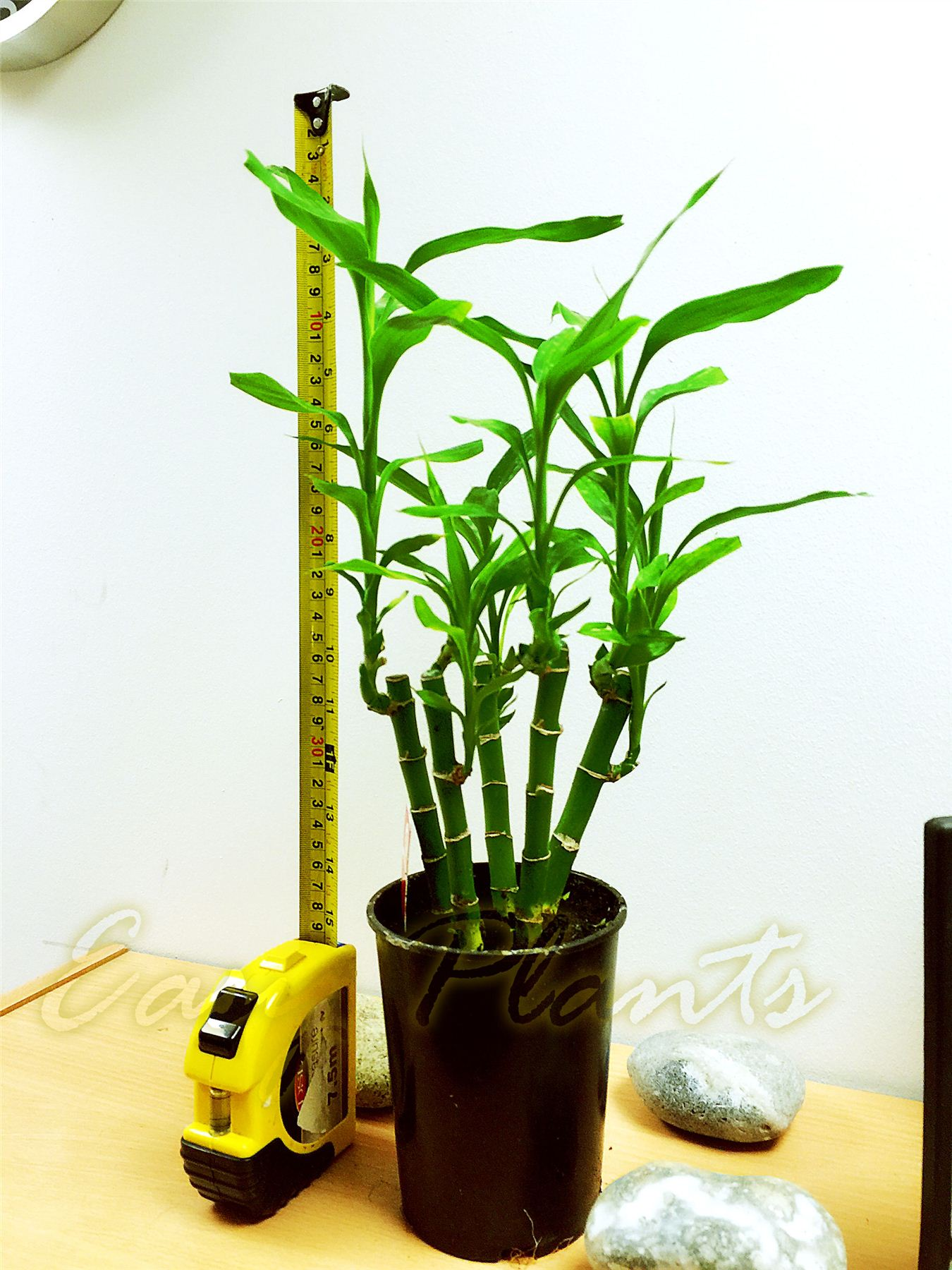 Lucky bamboo groupe plante dans le sol blanc gravier for Plante maison