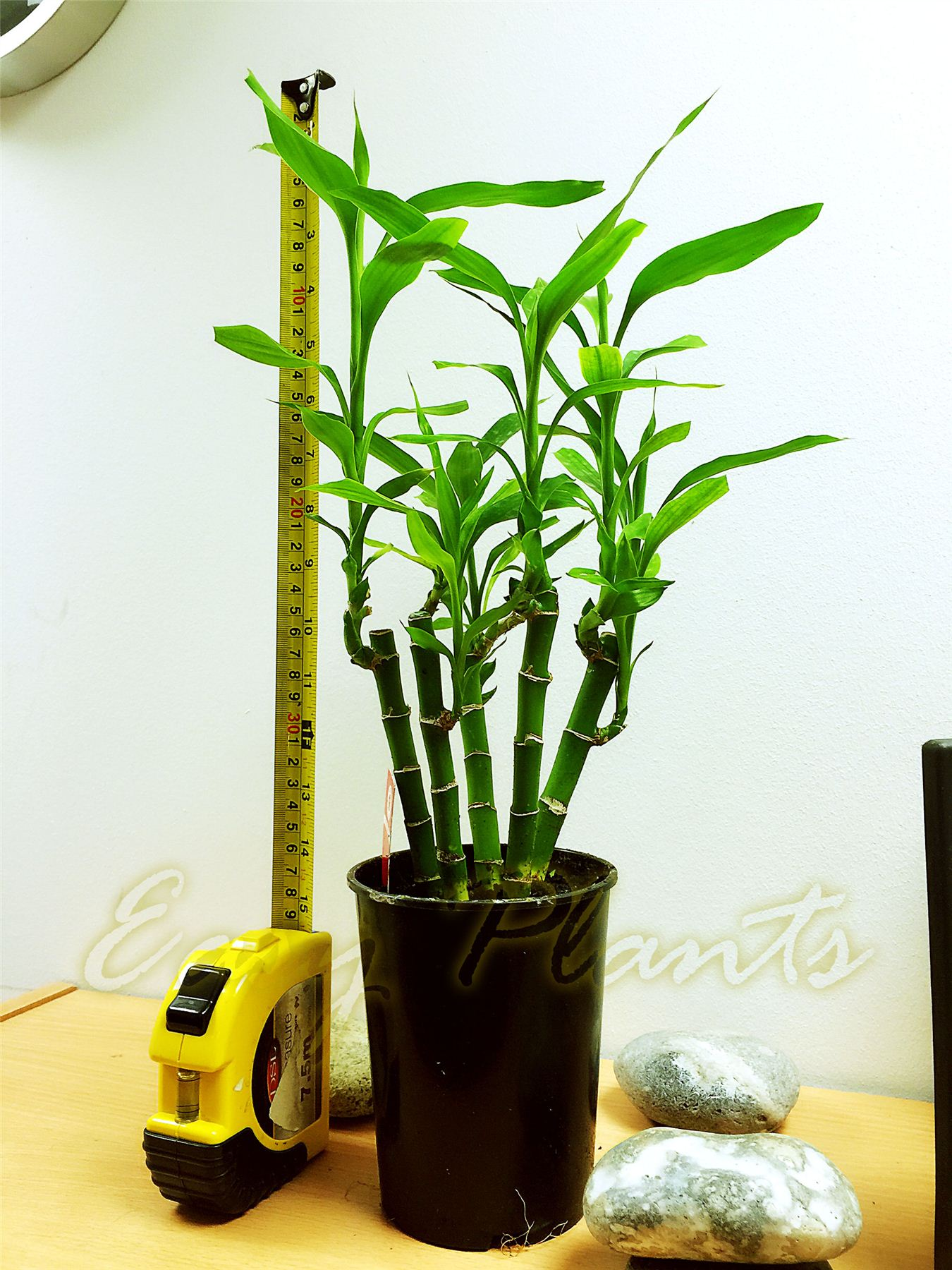Bamboo House Plant ~ Pot of lucky bamboo plant in soil colourful stone topping