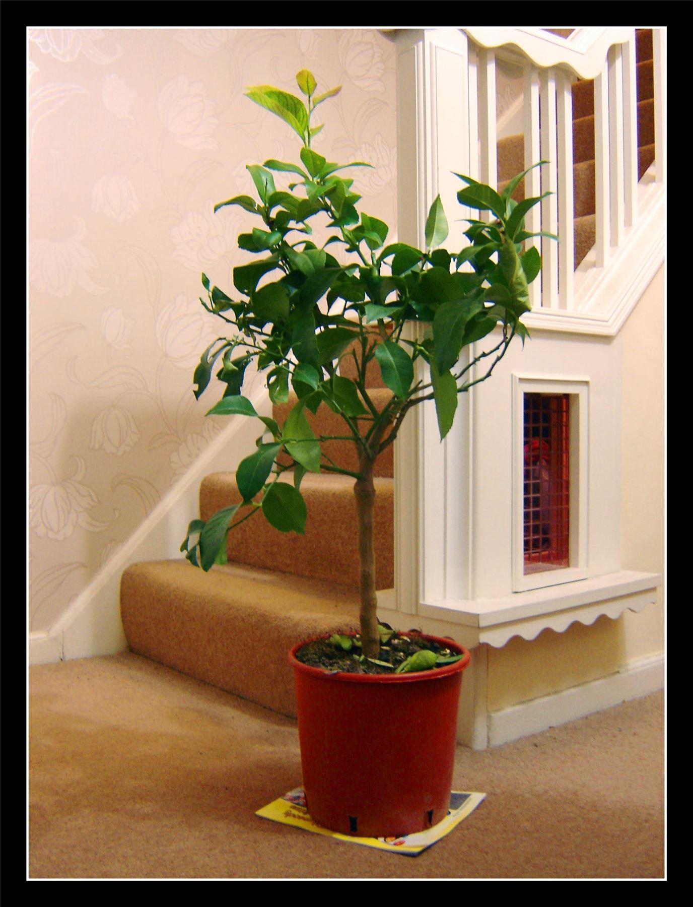 1 grandes mature debout parfum citron citrus garden fruit tree house plant en pot ebay. Black Bedroom Furniture Sets. Home Design Ideas