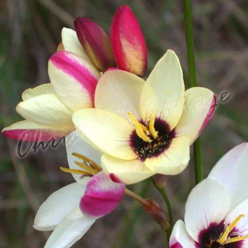 12 24 bulbes ixia cornlily jardin m lange de couleur fleurs vivaces de l 39 t ebay. Black Bedroom Furniture Sets. Home Design Ideas