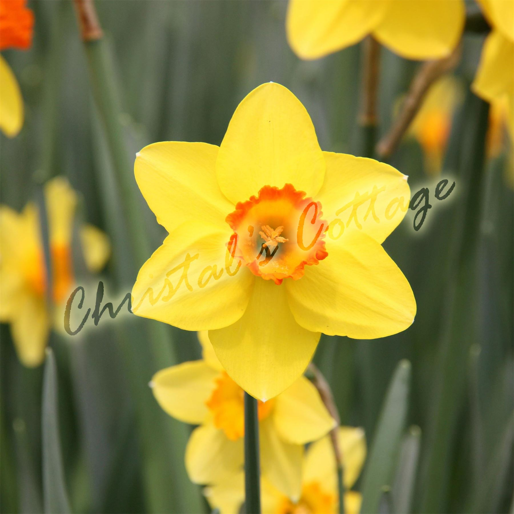 1 kg  20 Knollen gelb orange Blume Narzisse Narzissen