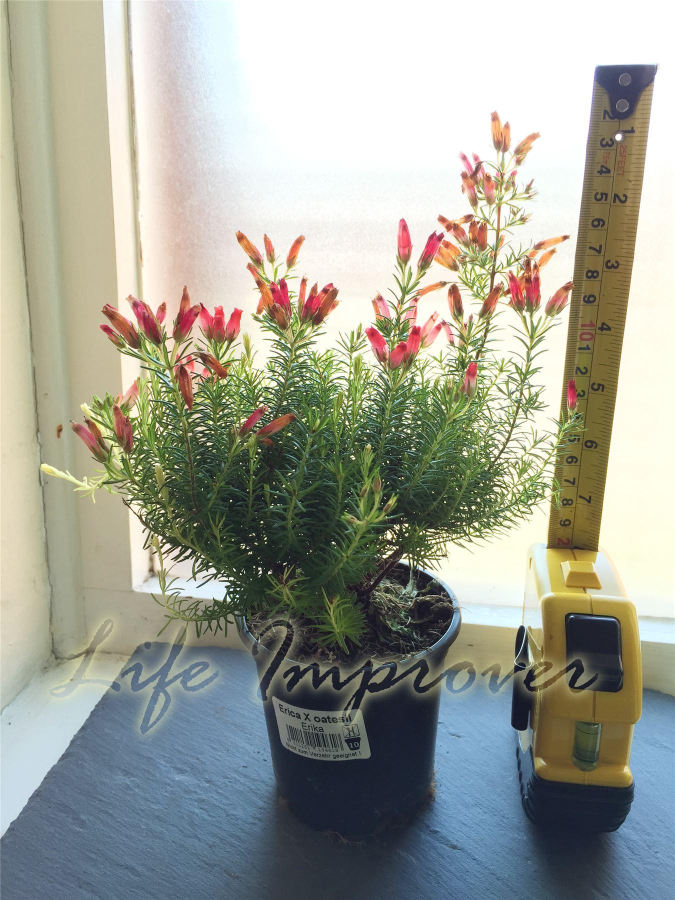 Heath erica oatesii hiver feu hardy evergreen arbuste for Plantes exterieur hiver