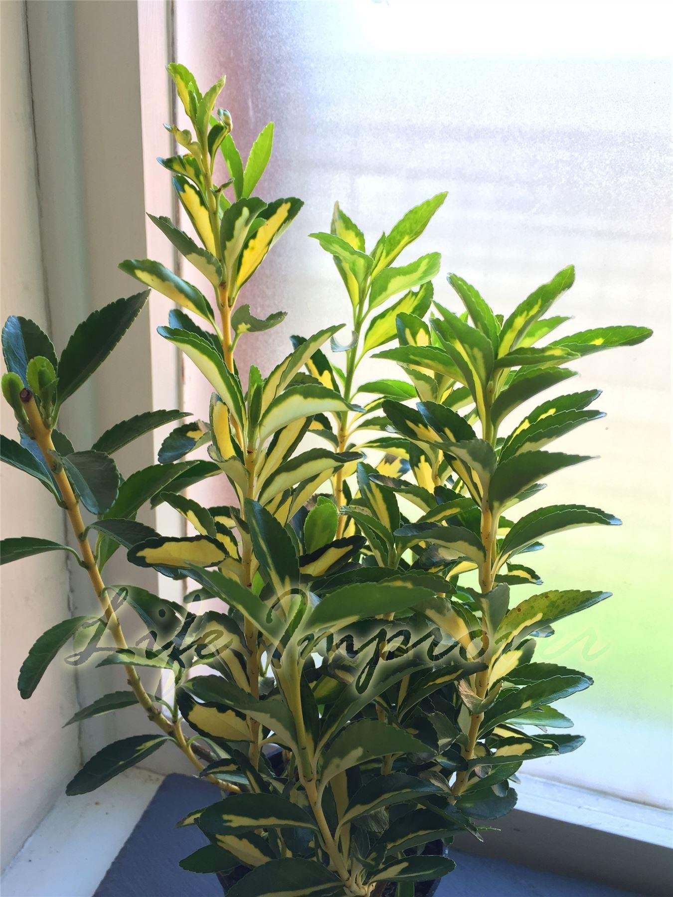 Hardy esmeralda n oro euonymus husillo rbol arbusto de for Arboles para jardin de hoja perenne